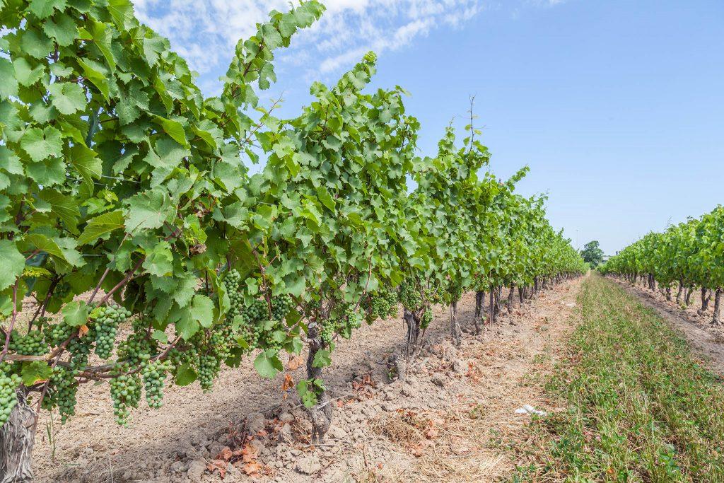 Vineyards in Niagara Falls area, Ontario, Canada